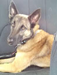 belgian sheepdog georgia abmr 2014 transports abmr malinois rescue blog