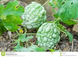 fresh green momordica charantia on tree stock photo image 42856585