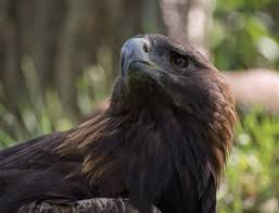 file golden eagle at aces 11830 jpg wikimedia commons