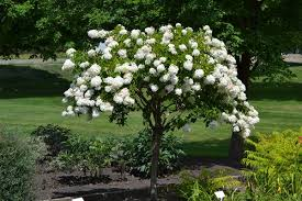 ornamental trees part shade zone 8 peegee hydrangea paniculate