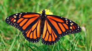 monarch butterfly grass ngsversion 1396530842099 jpg
