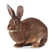 rabbit facts for kids hare facts dk find out