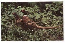 state bird of south dakota pheasant hunting south dakota ebay