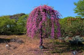 redbud weeping covey ornamental trees trees plants