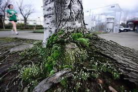 the moss that saved portland nrdc