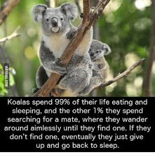 Koala Meme - koalas spend 99 of their life eating and sleeping and the other 1