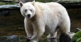 Running Bear Meme - types of bears bear species popular science
