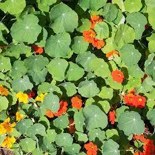 nasturtium flower organic non gmo nasturtium blend
