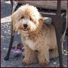 bichon frise for sale cheap bichon poodle puppies for sale poochon dog breeders iowa