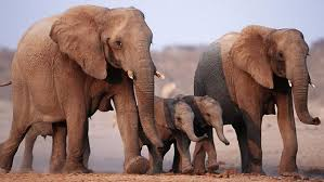photo gallery endangered elephants in africa
