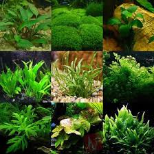 Live Plants In Community Aquariums by Best 25 Freshwater Aquarium Plants Ideas On Pinterest Aqua