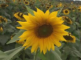 Sunflower Rugs Rugs And Pugs September 2017