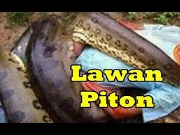 film ular phyton bagai film anaconda pria gelut lawan ular piton di riau youtube