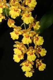 oncidium orchid oncidium orchid howstuffworks