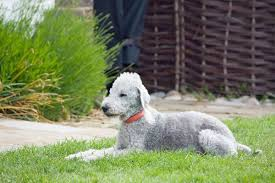 bedlington terrier guide bedlington terrier dog breed information all about dogs