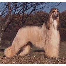 afghan hound poodle cross the afghan hound is one of the oldest sighthound dog breeds