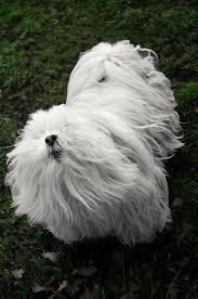 shih tzu haircuts grooming your dog at home shih tzu haircut