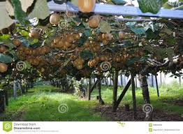 kiwi fruit growing stock photo image 62252193