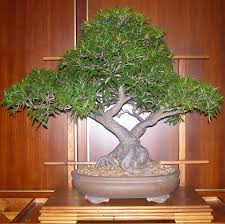 different types of bonsai trees seekyt