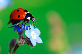 How To Find Ladybugs In Your Backyard How To Attracting Pollinators Flowers That Encourage Bees