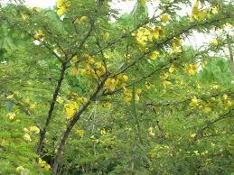 native desert plants desert cassia senna polyphylla richard lyons nursery inc