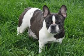 puppies indiana bulldog puppies for sale in indiana chicago family puppies