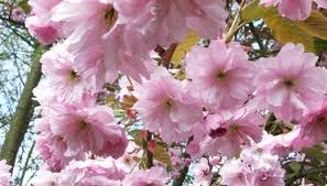 cherry blossom tree facts cherry kwanzan tree facts garden guides