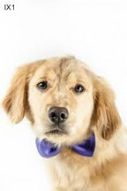 Comfort Retrievers For Adoption 7 Things You Didn U0027t Know About The Miniature Golden Retriever