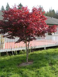 Ornamental Maple Tree Redleaf Japanese Maple Trees Available In Washington State And