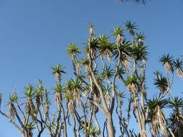 california san diego trees
