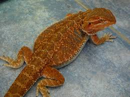 brightest red beardie breeder u2022 bearded dragon org