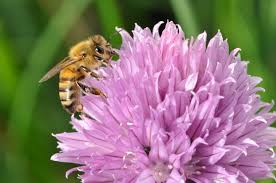 Flowers Bees Pollinate - planting herbs that attract honey bees