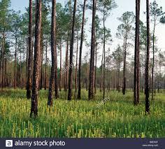 Mississippi forest images Pitcher plant bog with slash pine trees desoto national forest jpg