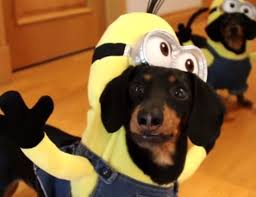 video dachshunds dressed minions ridiculous cute