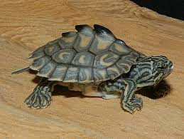 map turtle yellow blotched map turtle for sale from the turtle source