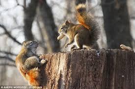 Dramatic Squirrel Meme - dramatic squirrel drops nut