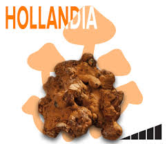 where can you buy truffles order psilocybe hollandia single portion online at trufflemagic