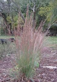 buy native grow native indiana schizachyrium scoparium or andropogan scoparium little bluestem