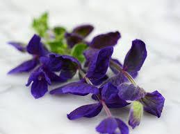 Salvia Flower Blue Monday Sage Salvia Baker Creek Heirloom Seeds