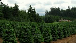 christmas tree farms madinbelgrade