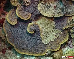 40m to feet caribbean coral diaries helioseris cucullata reefdivers io