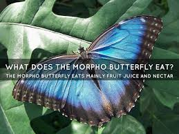morpho butterfly by catherine stallings
