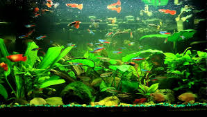 ornament fish aquarium