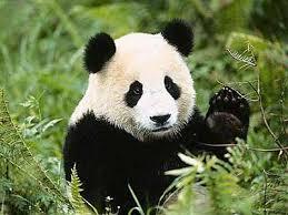 panda dans Présentation d'un animal