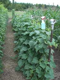 Growing Cucumbers Up A Trellis Great Blog About Spacing Of Beans And How To Trellis Large Garden