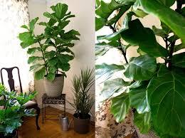 42 best fiddle leaf fig images on fiddle leaf fig