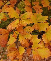 vermont native plants swamp white oak trees pinterest white oak plants and gardens