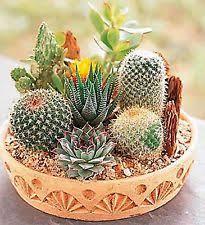 sand cacti succulent seeds ebay