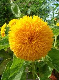 teddy sunflowers plantfiles pictures helianthus annual sunflower teddy
