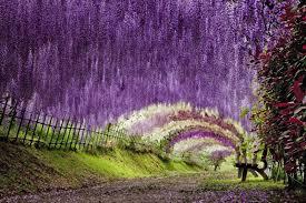 Japan Flower Tunnel | the wisteria flower tunnel at kawachi fuji garden twistedsifter